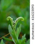 Heliotropium Indicum  Commonly...