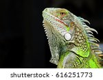 Green Iguana Profile Detail...