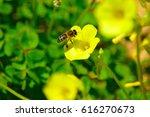single bee on yellow flowers