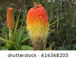 Kniphofia Flower  Torch Lily ...