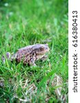 common toad bufo bufo animal | Shutterstock . vector #616380413