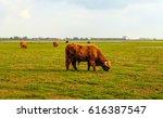 Highland Bull With Horns...