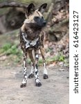 Small photo of African wild dog scanning its surroundings in the zoo