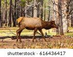 Beautiful Elk In The Grand...