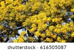 Small photo of Golden Wattle (Acacia pycnantha)