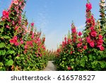 Hollyhock Flowers With Blue Sky