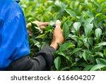 vietnamese women picking tea... | Shutterstock . vector #616604207