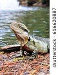 Small photo of Eastern Water Dragon, Physignathus lesueurii (Agamidae). Brisbane, Queensland Australia