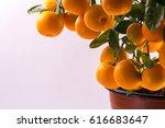 Calamondin Tree With Fruits An...