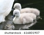 Two Baby Mute Swan Cygnets ...