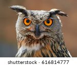 Close Up Photo Of A Horned Owl...