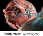 human anatomy face  jaw  nose.... | Shutterstock . vector #616949093