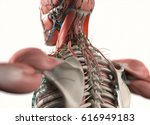 human anatomy spine  scapula... | Shutterstock . vector #616949183