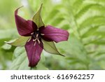 Red Trillium Against Out Of...