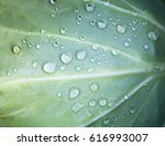 green cabbage leaf with visible ... | Shutterstock . vector #616993007