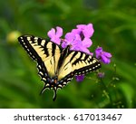 Eastern Tiger Swallowtail...