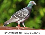 mail sport pigeon with rings on ... | Shutterstock . vector #617122643