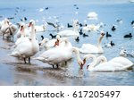Flock Of Swans On Sea Shore