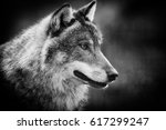 Small photo of Scary dark gray wolf (Canis lupus)