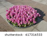 pink hyacinth  hyacinthus ... | Shutterstock . vector #617316533