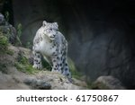 Snowleopard  Lat. Unica Unica ...