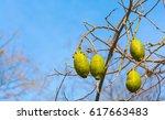 baobab fruits | Shutterstock . vector #617663483