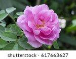 Stock photo damask rose pink damask rose summer damask rose rose flowers have property medicine 617663627