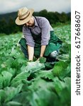 Small photo of farmer picking cabbage plants