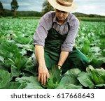 farmer picking cabbage plants | Shutterstock . vector #617668643