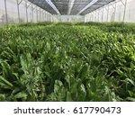 vegetables in greenhouse | Shutterstock . vector #617790473