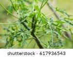 Young Chaya Leaf On Tree