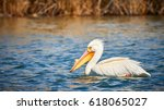 White Pelican Swimming In Blue...