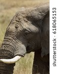 Small photo of A portrait of African elephant