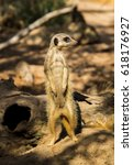 Meerkat Also Known As Suricate...