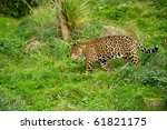 Jaguar Walking Through Grass...