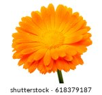 Calendula Flower With Water...