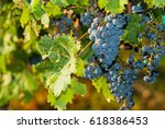 red grapes on vine stock at... | Shutterstock . vector #618386453