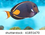 Small photo of Achilles Tang or Surgeon Fish in Aquarium