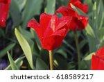 kaufmanniana red tulips... | Shutterstock . vector #618589217