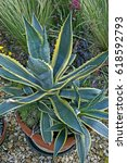 Small photo of Close up of an Agave americana 'Marginata' in a container