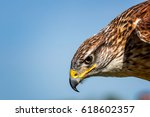 A Portrait Of A Ferruginous Hawk