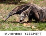 giant anteater  myrmecophaga... | Shutterstock . vector #618634847