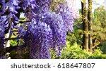 Wisteria Flowers. Amazing...