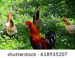 Rooster And Chickens On Green...