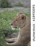 Profile Portrait Of Lioness In...