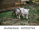 Funny Cute Little Piglets At A...