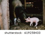 Cute Little Baby Piglet At An...