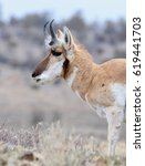 Small photo of Pronghorn (American antelope) closeup.