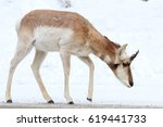 Small photo of Pronghorn (American antelope) against a white background.