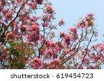 Wild Himalayan Cherry Blossom...